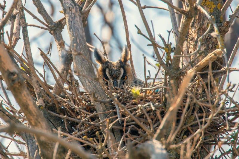 Coruja orelhuda longa do otus do Asio do assentamento da coruja no ninho fotos de stock royalty free
