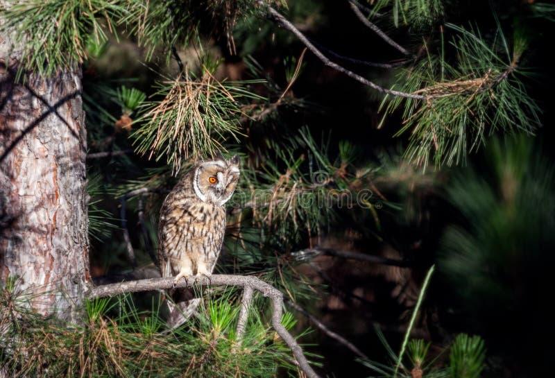 Coruja orelhuda longa na floresta fotos de stock royalty free