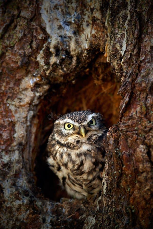 Coruja pequena, noctua do Athene, na floresta do furo do ninho da árvore na Europa Central, retrato do pássaro pequeno no habitat fotos de stock