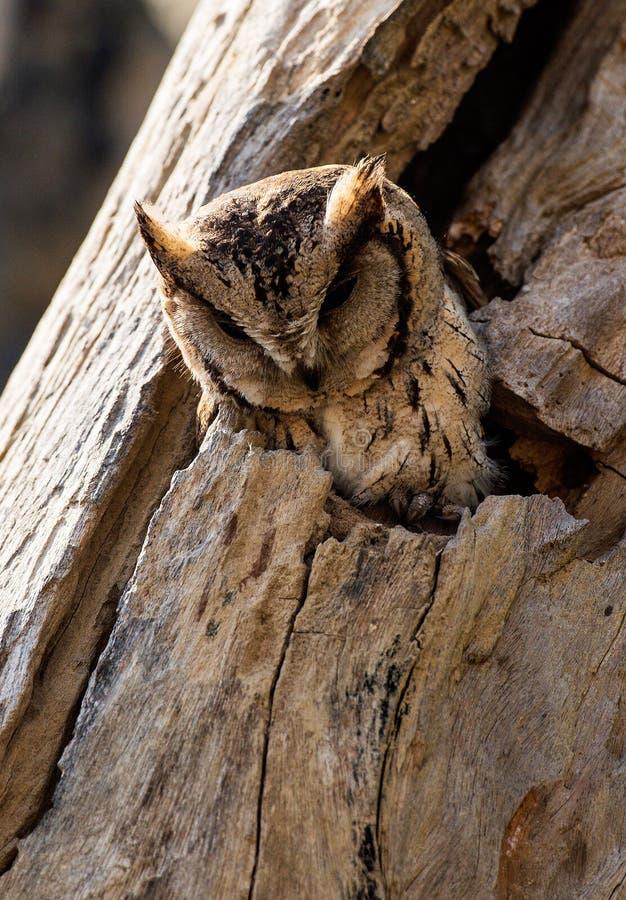 Coruja pequena que dorme no furo de uma árvore imagem de stock royalty free