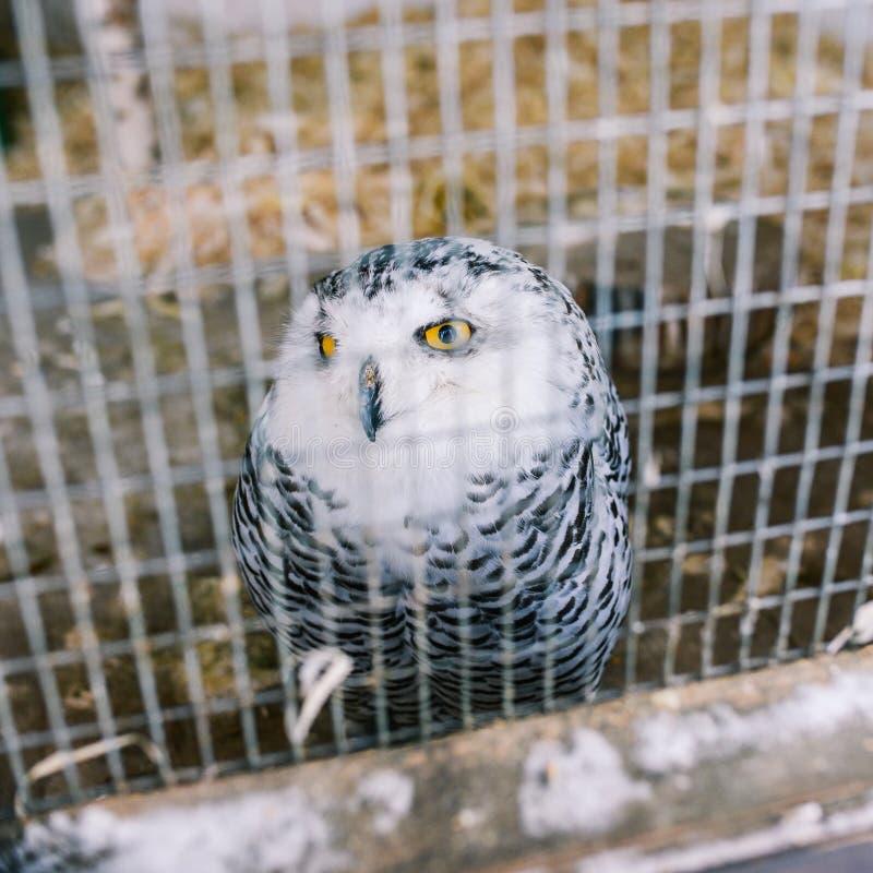 Coruja que polar a coruja branca grande se senta em uma gaiola Pássaro prendido Olhos amarelos e olhos sábios imagem de stock royalty free