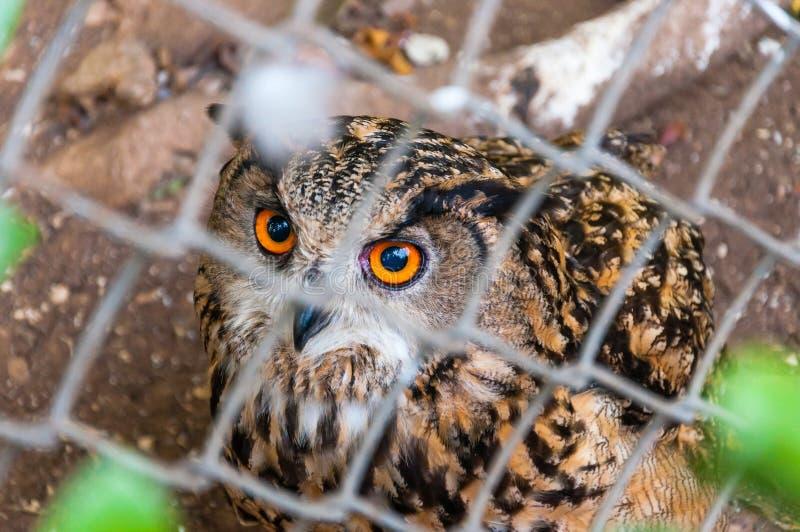 Coruja que senta-se na terra no aviário e que olha à câmera com os olhos alaranjados grandes foto de stock