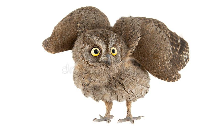 Corujas - coruja de scops europeia, scops do Otus, com asas abertas Isolado no fundo branco fotos de stock royalty free