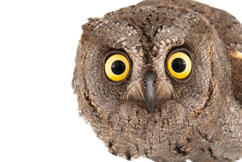 Corujas - scops europeus do Otus da coruja de scops isolados no fundo branco Retrato do close-up fotos de stock
