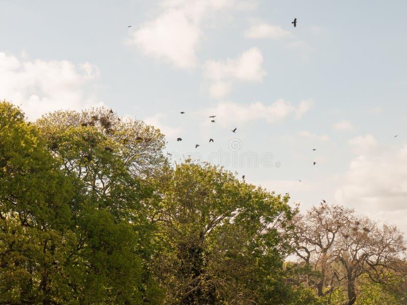 Corvi che pilotano insieme sopra gli alberi un omicidio immagini stock