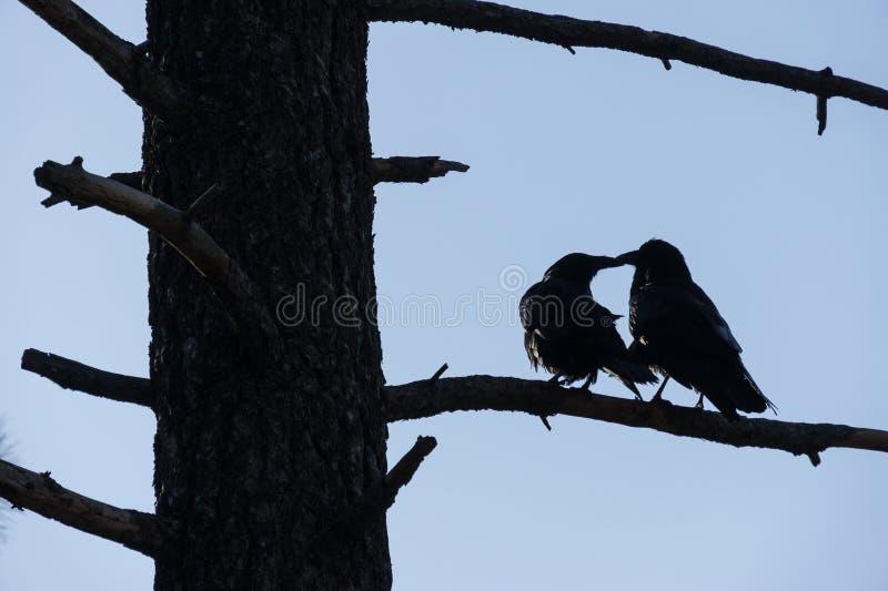 Corvi che stringono a sé nel parco nazionale di Yosemite, CA, U.S.A. fotografie stock libere da diritti