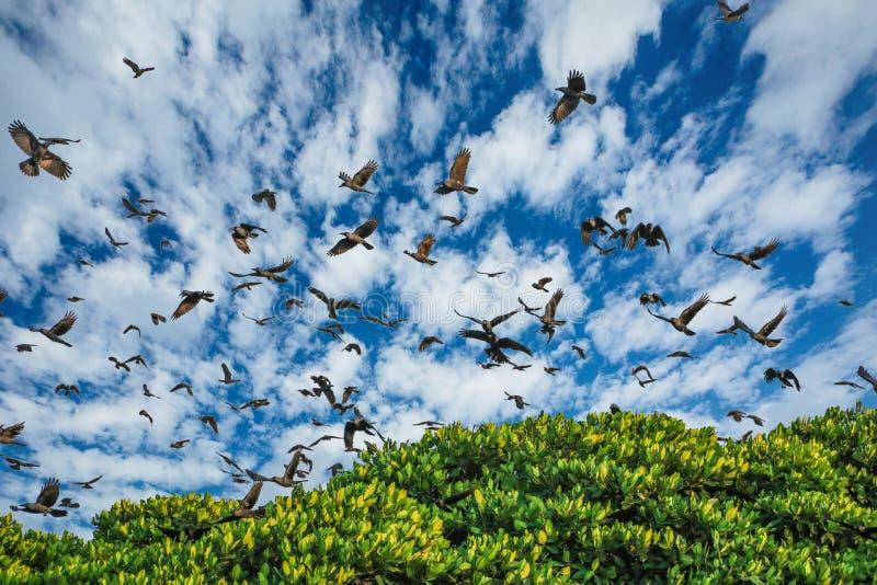 Corvi della laguna della Sri Lanka Negombo dei corvi fotografia stock libera da diritti