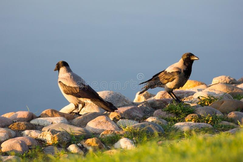 Corvi di alba fotografia stock