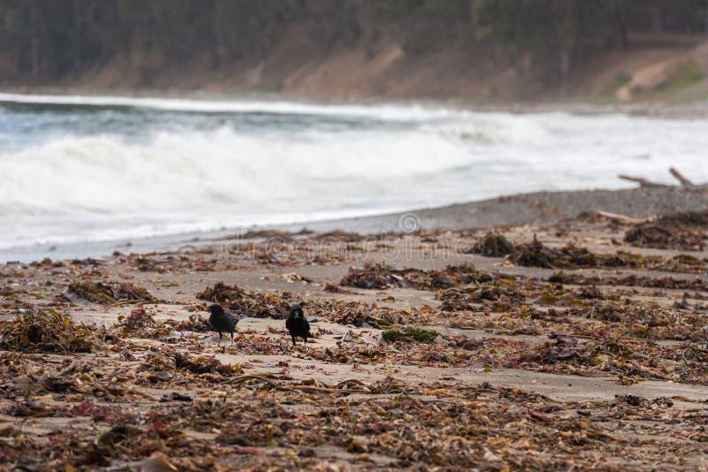 Corvi su una spiaggia vicino a San Simeon, California, U.S.A. immagini stock libere da diritti