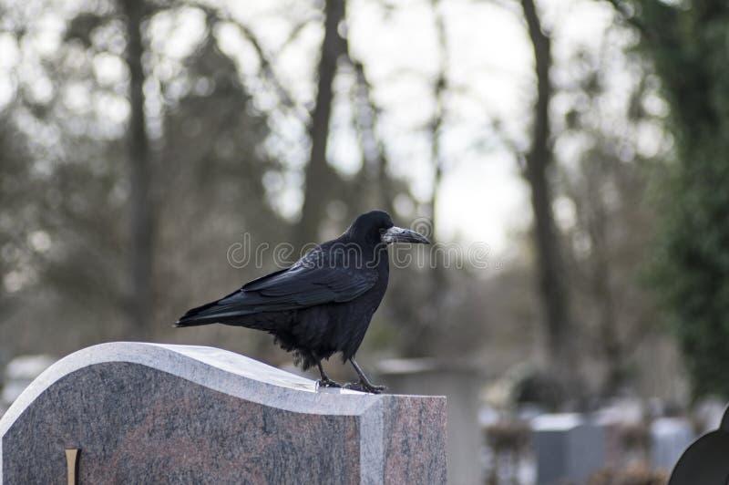 Corvo adulto che si siede su una pietra fotografia stock