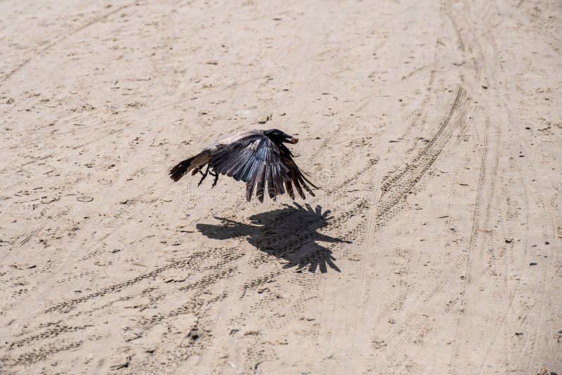 Corvo basso del nero di volo Uccello con la preda in suo becco fotografia stock libera da diritti