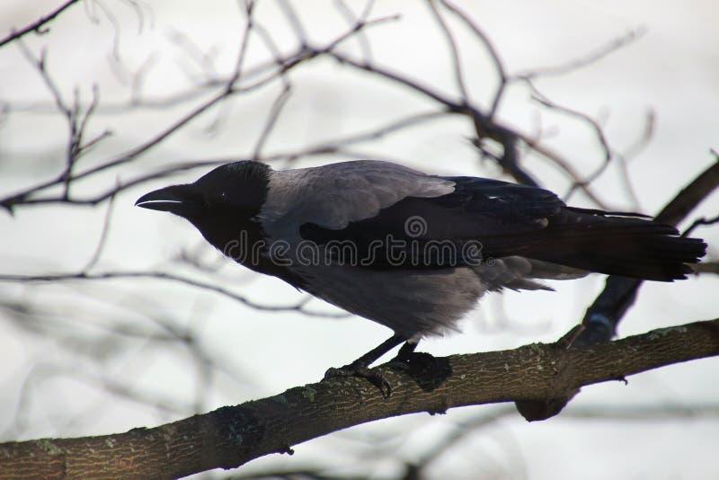 Corvo cinzento em um ramo de ?rvore fotografia de stock