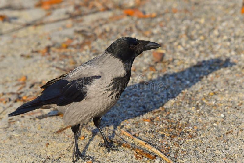 Corvo cinzento na praia foto de stock royalty free