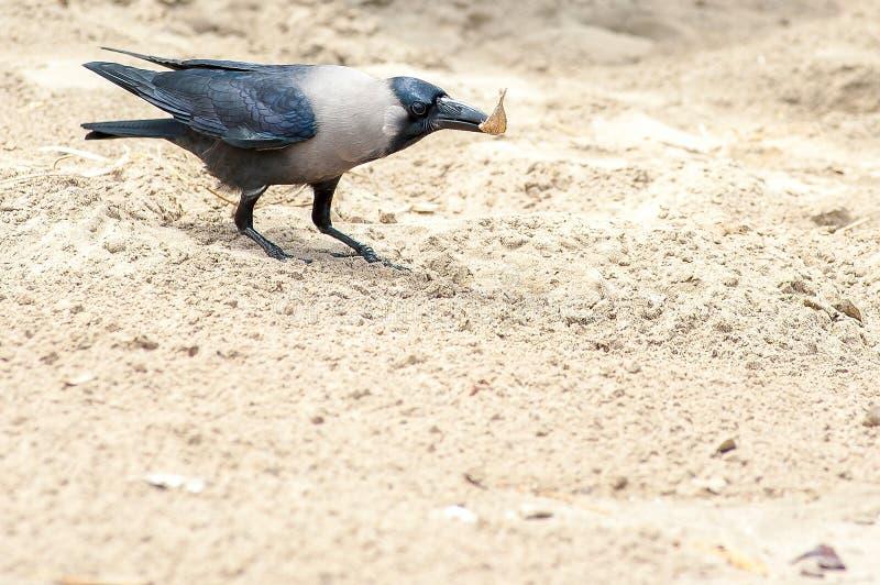 Corvo cinzento na praia da areia com os peixes pequenos no bico imagem de stock