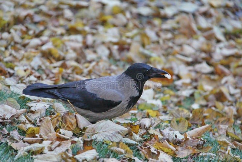 corvo Cinzento-preto com uma parte de pão em seu bico imagem de stock royalty free