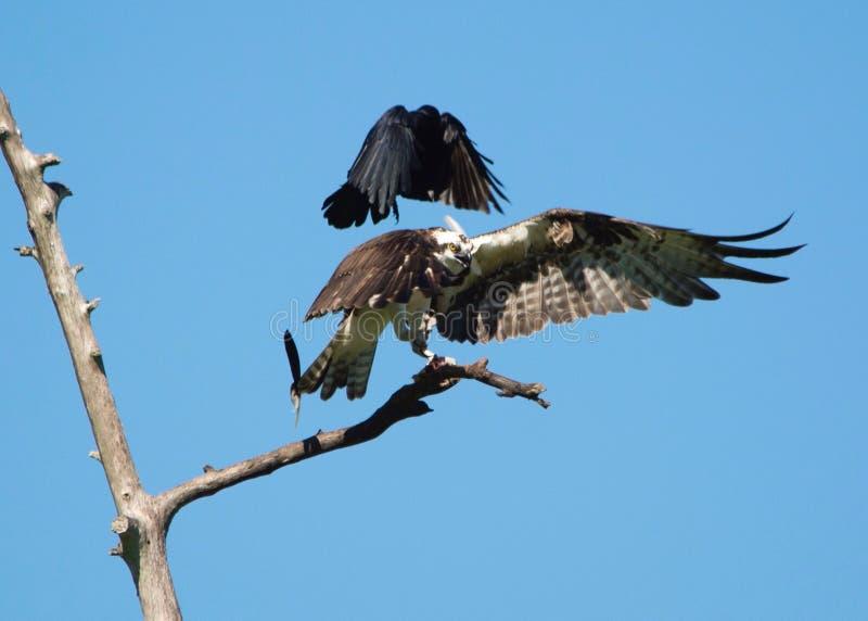 Corvo contra a águia pescadora imagem de stock royalty free