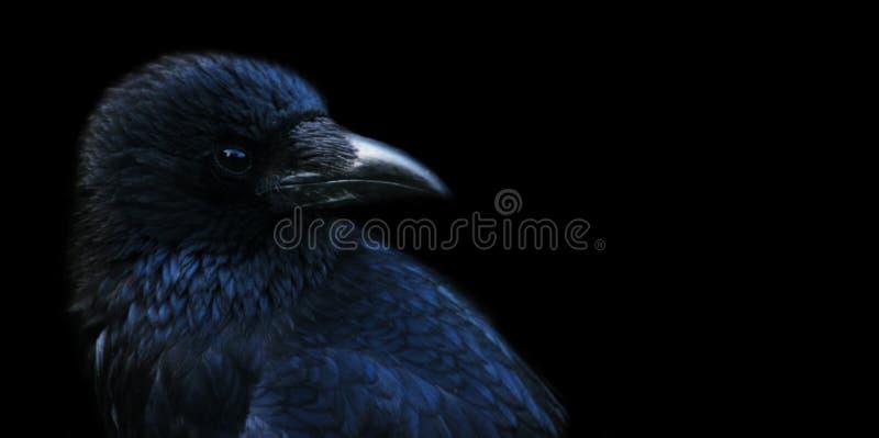 Corvo, corvo fotografia stock