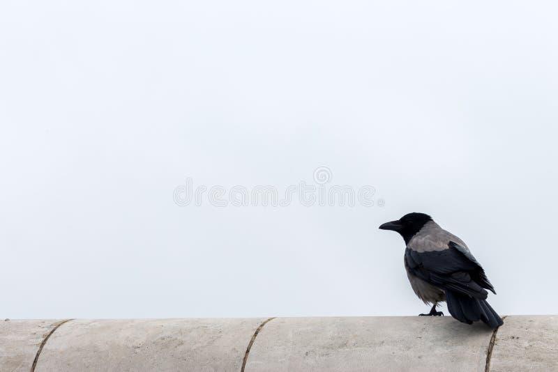 Corvo de assento isolado contra o céu cinzento com espaço da cópia Corvo com o bico no perfil exterior Animais selvagens e concei fotografia de stock