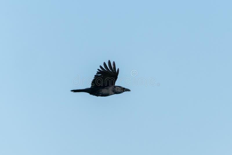 Corvo de cadáver ( Corvus corone) , recolhido o Reino Unido foto de stock royalty free