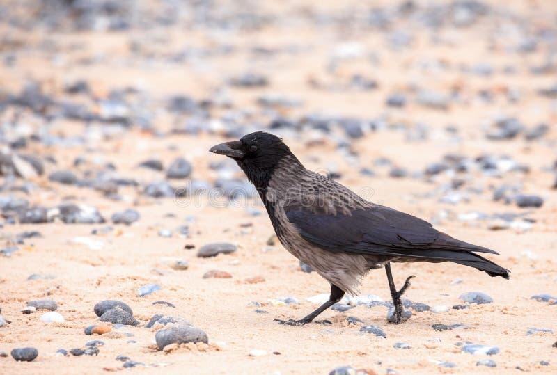 Corvo de cadáver na praia em Helgoland imagens de stock royalty free