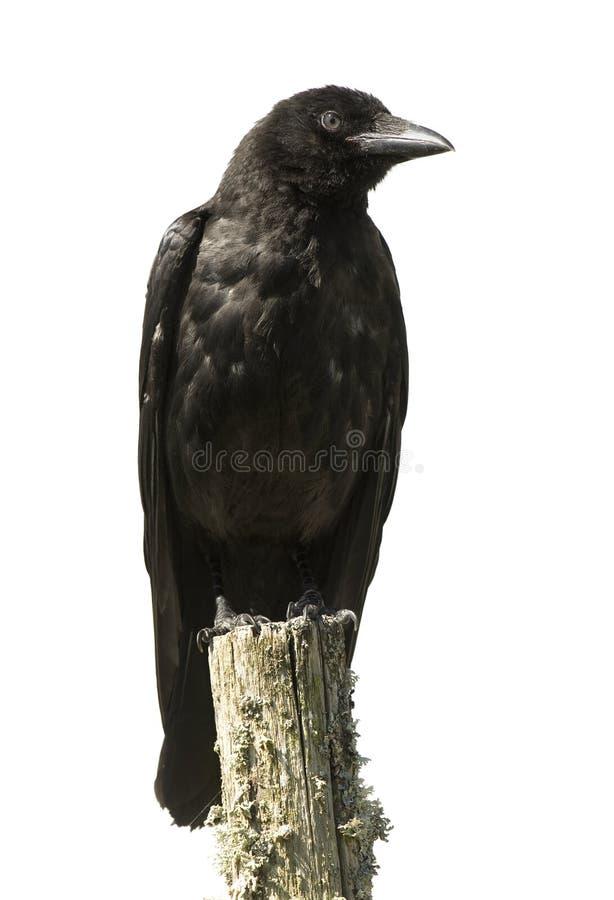 Corvo de Carrion novo - corone do Corvus (4 meses) fotos de stock royalty free