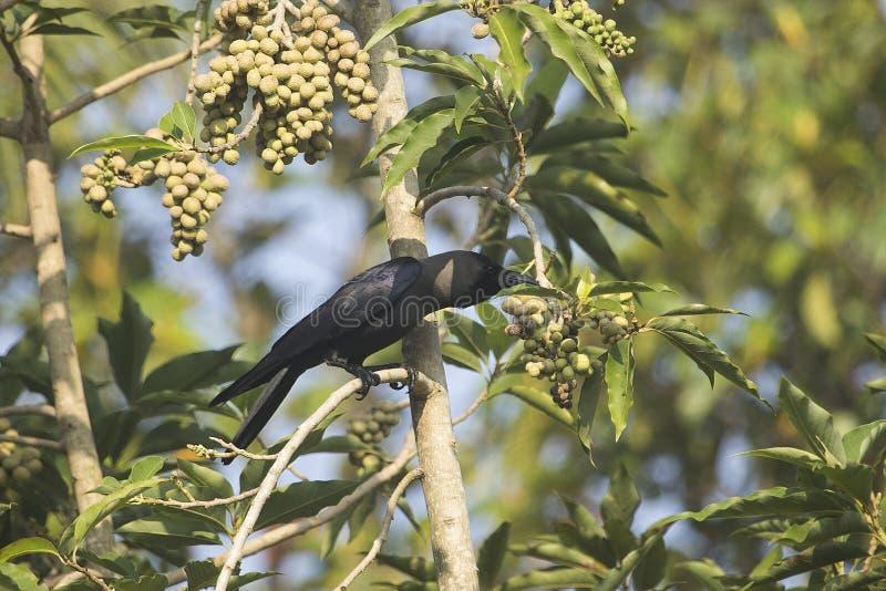 Corvo de casa indiano fotografia de stock