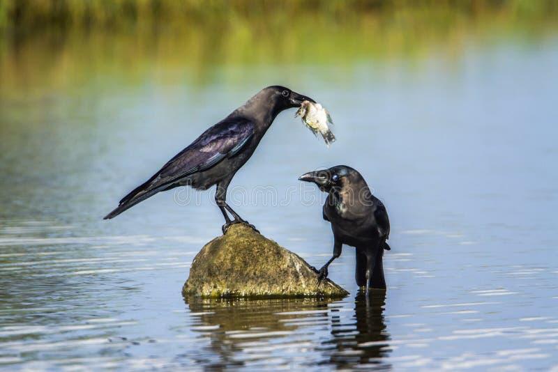 Corvo della Camera nella laguna della baia di Arugam, Sri Lanka fotografia stock