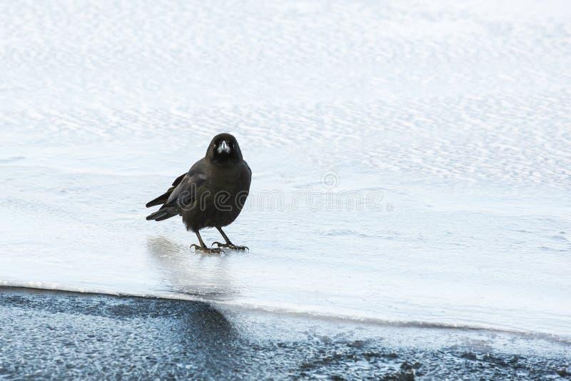 Corvo della giungla che sta sul ghiaccio fotografie stock