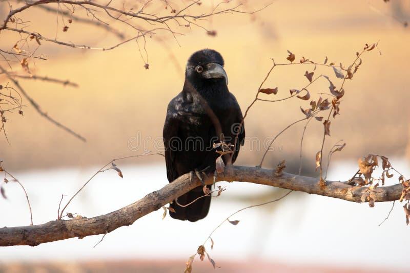 Corvo della giungla, parco nazionale di Ranthambore, Ragiastan, India fotografie stock