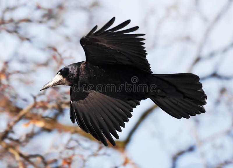 Corvo di volo fotografia stock