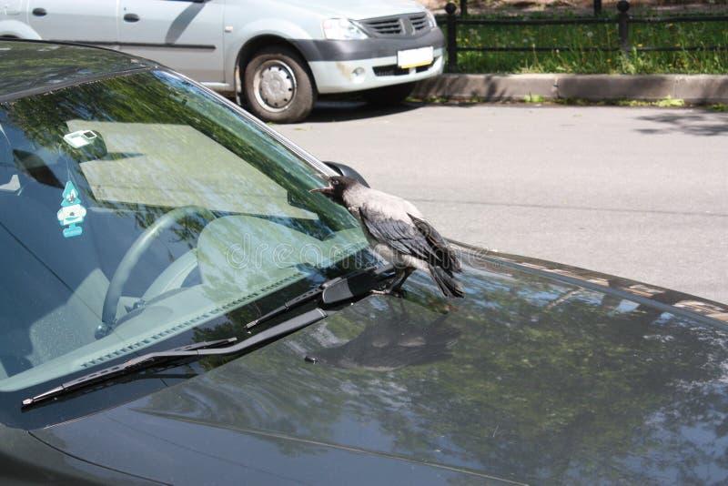 Corvo e carros na rua em Petersburgo imagem de stock