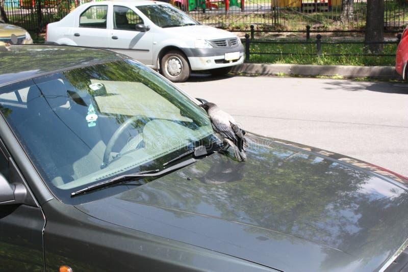 Corvo e carros na rua em Petersburgo fotografia de stock royalty free