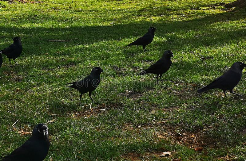 Corvo em Richmond Park fotografia de stock royalty free