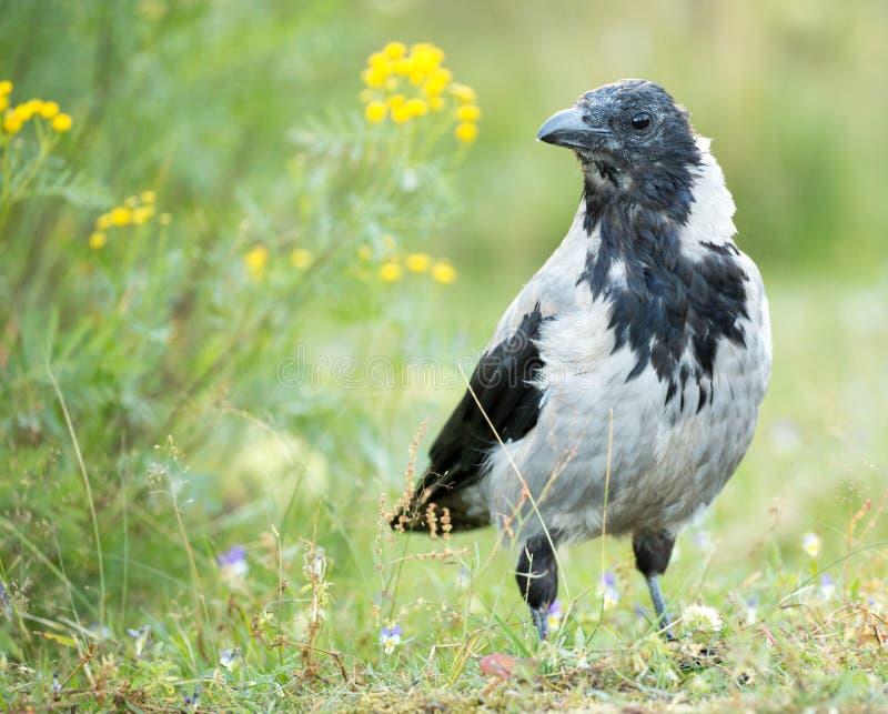 Corvo encapuçado - cornix do corone do Corvus foto de stock royalty free