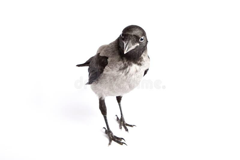 Corvo encapuçado (cornix do Corvus) fotografia de stock