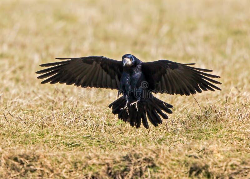 Corvo - frugilegus del Corvus immagine stock libera da diritti