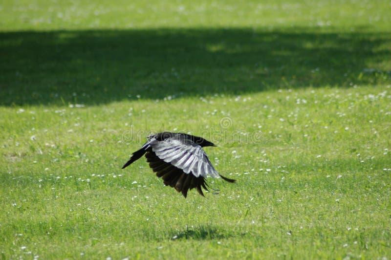Corvo (frugilegus del Corvus) fotografia stock