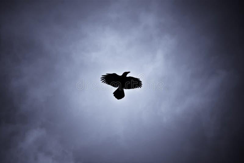 Corvo librantesi nella bufera di neve islandese fotografia stock libera da diritti