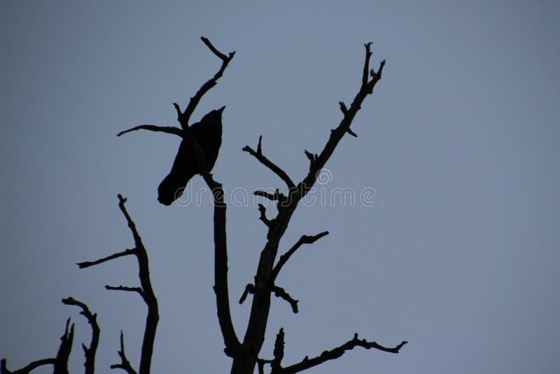 Corvo na árvore imagem de stock