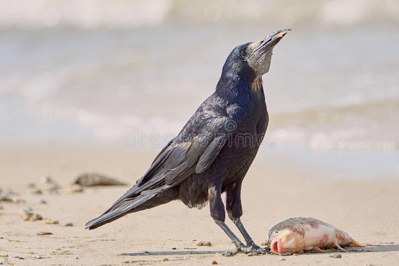 Corvo na praia fotos de stock royalty free