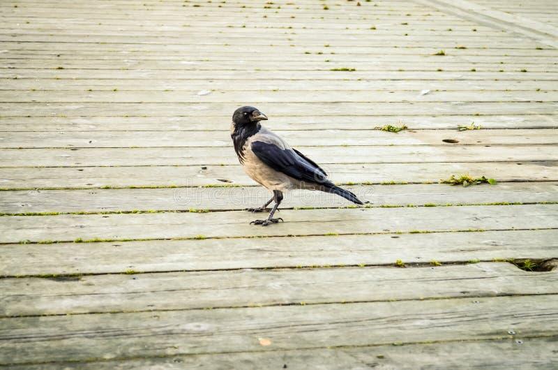 Corvo nero che cammina sopra il pavimento di legno fotografie stock