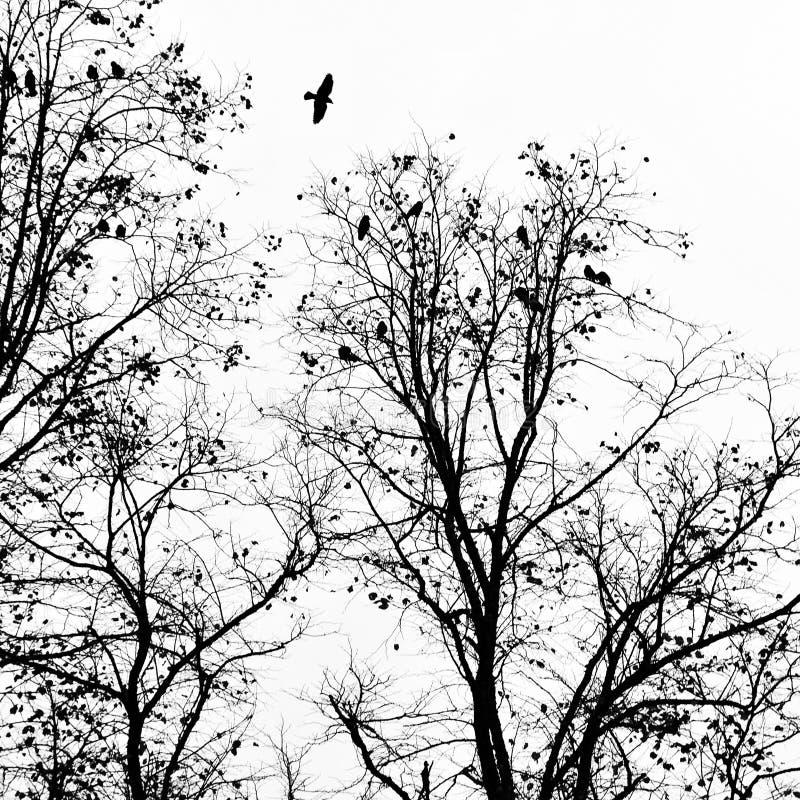 Corvo nero che sorvola un albero di inverno con altri che roosting fotografie stock libere da diritti