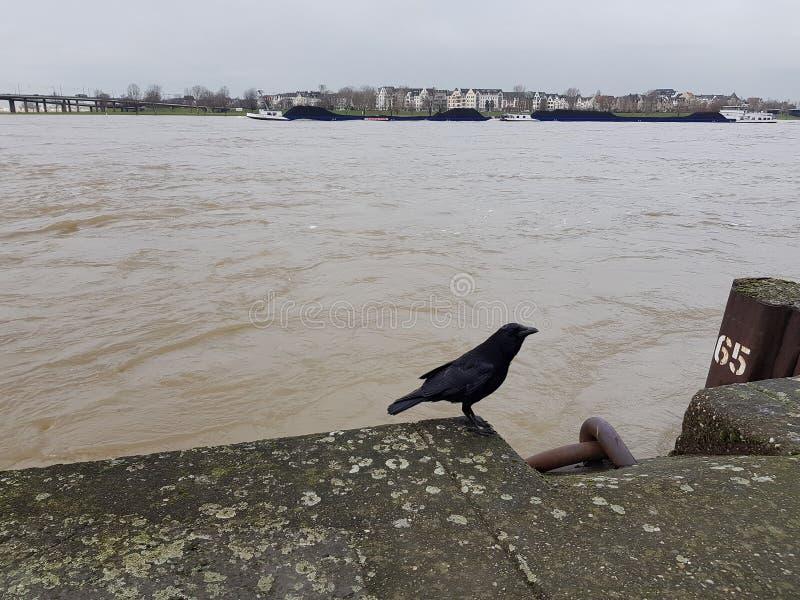 Corvo nero sull'argine di pietra del fiume il Reno fotografia stock libera da diritti