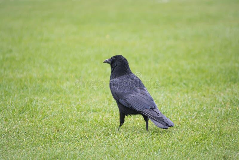 Corvo nero sull'erba immagini stock