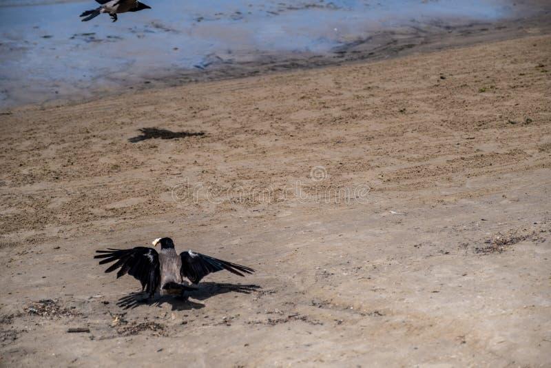 Corvo nero sulla spiaggia di sabbia Uccello con la preda in suo becco immagine stock libera da diritti