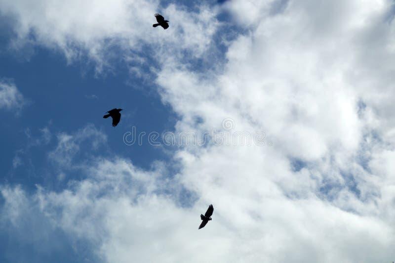 Corvo nero tre contro le nuvole fotografia stock