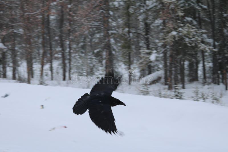 Corvo nero in volo fotografia stock libera da diritti