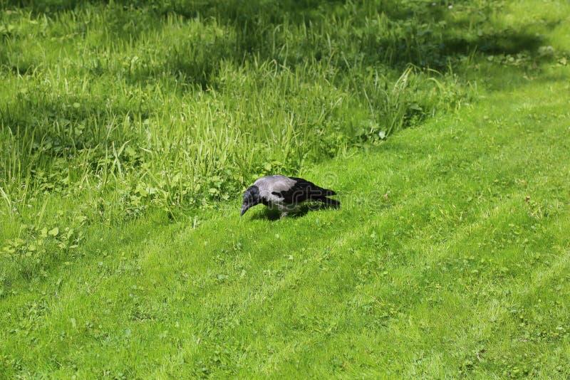 Corvo no gramado verde fotografia de stock