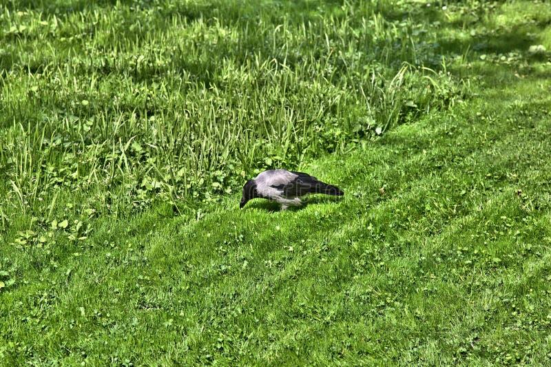 Corvo no gramado verde imagens de stock