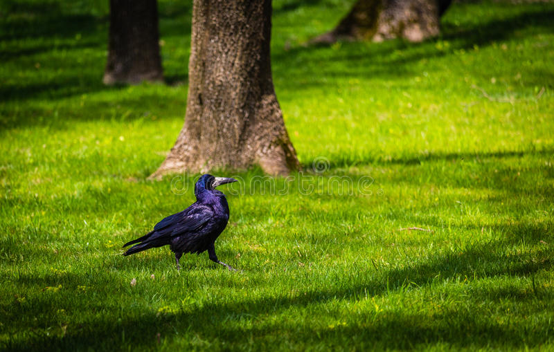 Corvo in parco fotografia stock